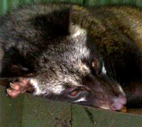 sleeping civet